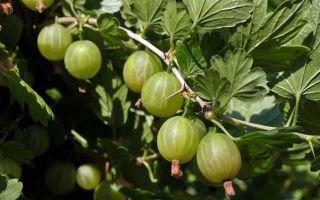 Крыжовник уральский изумруд: описание и характеристики сорта, выращивание