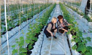 Что можно посадить в теплице вместе с огурцами: правила совместной посадки, технология, уход, фото, видео — тепличные советы