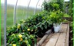 Что можно посадить в теплице вместе с помидорами – тепличные советы
