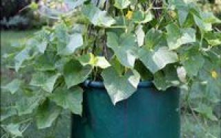 О способах посадки огурцов: необычные идеи выращивания культуры, как сажать в крапиву
