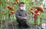 Агротехника выращивания томатов в теплице: правила, советы и рекомендации, фото, видео – тепличные советы