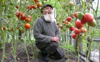 Агротехника выращивания томатов в теплице: правила, советы и рекомендации, фото, видео — тепличные советы