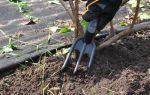 Смородина дачница: описание и характеристики сорта, уход и выращивание