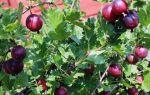 О крыжовнике финик: описание и характеристики сорта, уход и выращивание