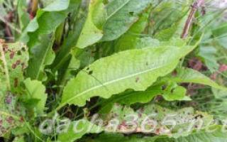 Как посадить и ухаживать за щавлем в открытом грунте: условия посадки