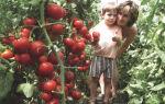 Самые урожайные сорта томатов для теплиц: какие выбрать, как получить хороший урожай, фото, видео – тепличные советы