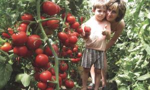 Самые урожайные сорта томатов для теплиц: какие выбрать, как получить хороший урожай, фото, видео — тепличные советы