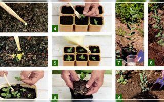 Эустома многолетняя: как выращивать из семян, посадка, уход, размножение, фото, видео – тепличные советы