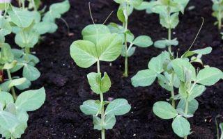 Проращивание гороха для посадки в домашних условиях: нужно ли проращивать и как