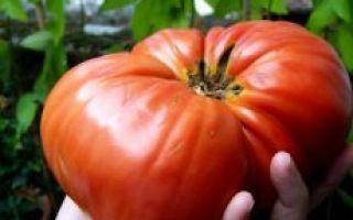 О томате розовый гигант: описание и характеристики сорта, выращивание