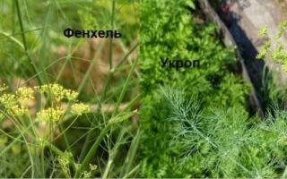 Чем отличается укроп от фенхеля: способы различия между растениями