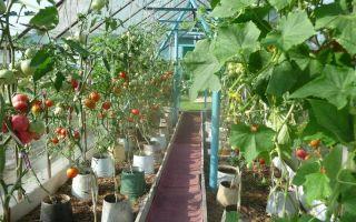 Огурцы в ведре: выращивание, посадка, уход, фото, видео – тепличные советы