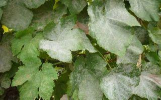 Описание сорта винограда викинг: посадка, особенности ухода и содержания