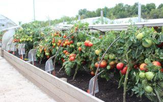 Парники для помидоров своими руками (25 фото): построить, сделать, опоры, покрыть теплицу, должна быть, возраст, рассады томатов — тепличные советы