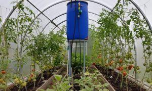 Подвязка помидоров в теплице из поликарбоната: видео, как и чем правильно подвязать, варианты, фото — тепличные советы