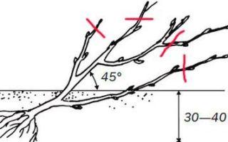 Куст смородины: описание и характеристики, особенности посадки и ухода
