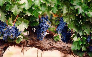 Как правильно подвязывать виноград весной к шпалере, инструмент для новичков
