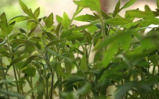 Все о помидорах толстые щечки: агротехника, характеристики и описание сорта