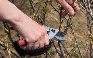 Смородина белорусская сладкая: описание сорта, уход и выращивание
