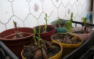 Как посадить георгины клубнями дома: посадка в горшок, как прорастить, выращивание из семян в домашних условиях, уход, фото, видео – тепличные советы