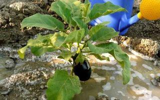 О посадке баклажанов в открытый грунт: как правильно сажать и выращивать культуру