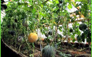 Арбузы и дыни в теплице: правильное выращивание, как сажать, поливать, формировать, фото, видео – тепличные советы