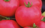 О томате волгоградском: описание и характеристики сорта, уход и выращивание