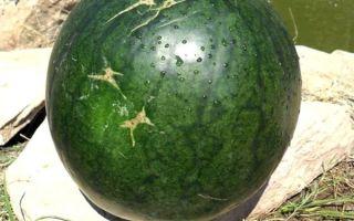 Все о сорте арбуза огонек: описание, как сажать, агротехника выращивания