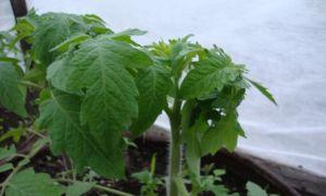 Закручиваются верхние листья помидор: если скручиваются у рассады томатов, почему макушки, если верхушки, описание, видео — тепличные советы
