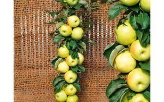 О яблоне московское ожерелье (колоновидной): характеристики сорта, посадка и уход