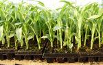 Посадка кукурузы рассадой в открытый грунт: как высаживать, при какой температуре