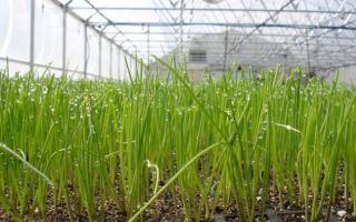 Лук на зелень: как вырастить из семян, какой и когда сажать, выращивание в теплице, фото, видео – тепличные советы