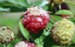 О малине брянское диво ремонтантная: описание сорта, особенности по уходу