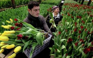 Выращивание тюльпанов в теплице: технология, уход, агротехника, фото, видео – тепличные советы