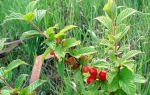 О сортах войлочной вишни для подмосковья: посадка, уход, устойчивость к болезням