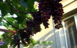 Описание сорта винограда юпитер – кишмиш из сша, особенности, достоинства