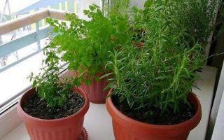 Посадка розмарина и уход за ним: как вырастить из семян в домашних условиях