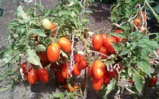 Лель: описание сорта томата, характеристики помидоров, выращивание