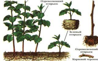 О штамбовой малине: описание сорта стволовой малины, особенности по уходу
