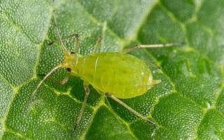 Все о выращивании салата эндивий: как вырастить салат из семян, уход, полив
