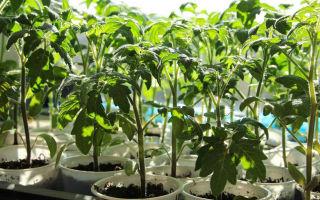 Причины плохого развития корневой системы у рассады томатов, как укрепить