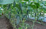 Схема посадки томатов в теплице 3х6: как сажать помидоры – тепличные советы