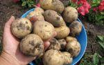 О картофеле елизавета: описание сорта, характеристики, агротехника