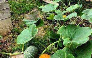 Все о формировании тыквы в открытом грунте: методы и схема прищипывания