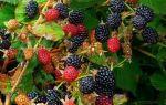 Ежевика агавам: описание и характеристики сорта, посадка и уход за ягодой