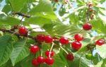 О вишне шубинка: описание и характеристики сорта, уход и выращивание