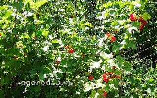 Совместимость смородины и крыжовника: хорошо ли кусты посадить вместе