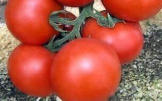 Катя: описание сорта томата, характеристики помидоров, выращивание
