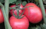 Дар заволжья: описание сорта томата, характеристики помидоров, посев