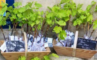 Алтайские сорта винограда, советы по посадке весной для начинающих